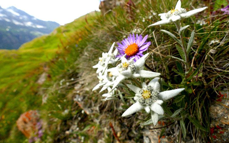 crop Edelweiss (3)