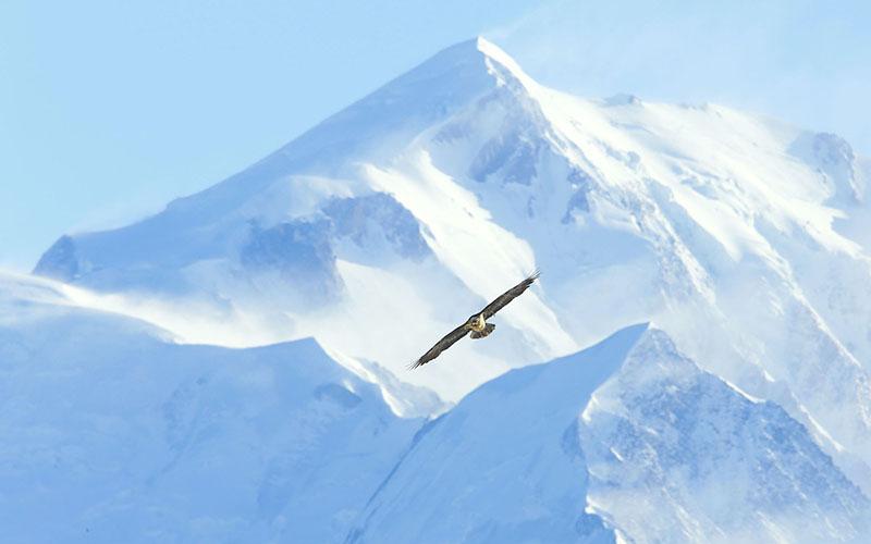 crop Gypaète Mont Blanc