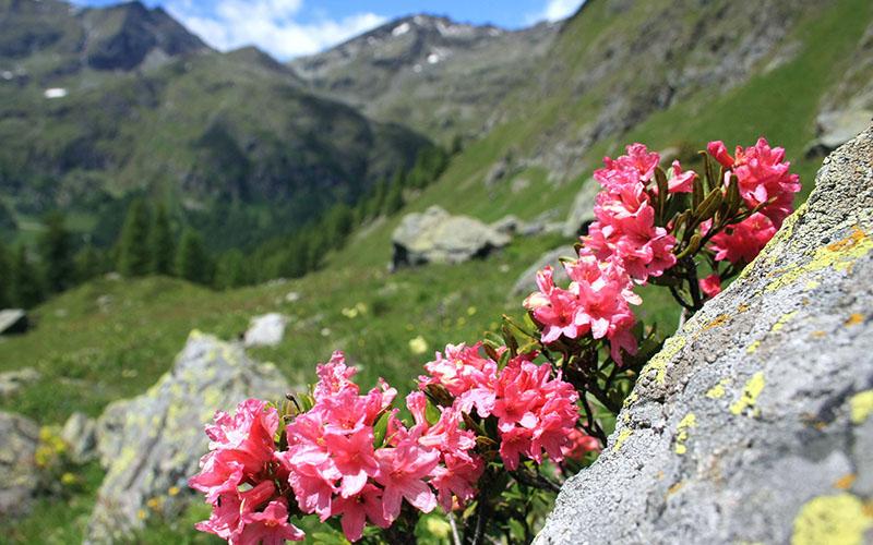 crop Rhododendron